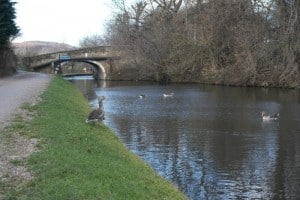 Ducks on the Leeds and Liverpool canal near Dowley Gap, Bingley