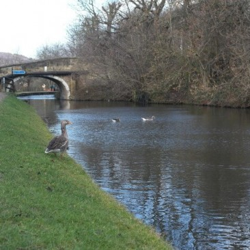 Ducks on the Leeds and Liverpool canal near Dowley Gap, Bingley