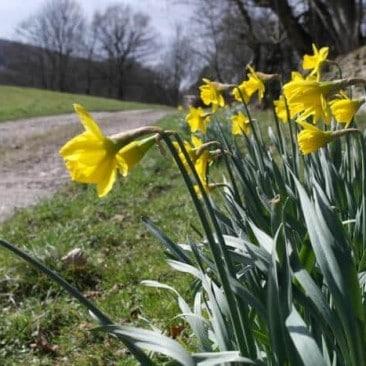 Daffodils off Beckfoot Lane