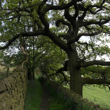 Oak Tree on path near Micklethwaite