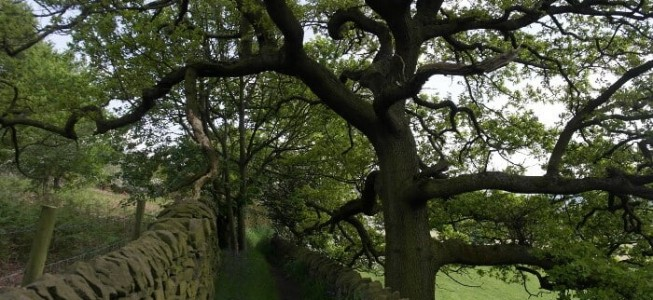 A typical path in the Aire Valley with majestic oak tree near Micklethwaite, Bingley