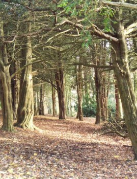 Yew Trees at St Ives Estate