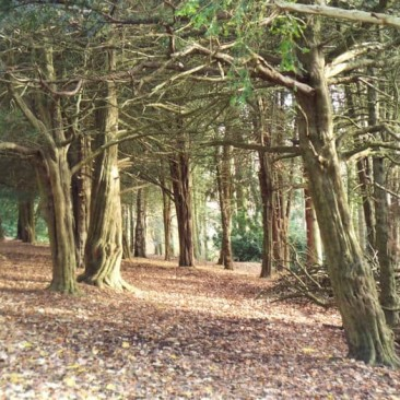 Yew Trees in St-Ives Estate, Bingley