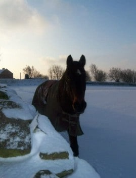 Horse in a Wintery Snow Covered Field