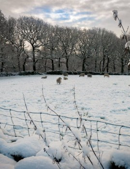 Sheep in a Snow Covered Field