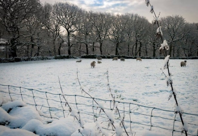 Flock of Sheep in a Snow Covered field near Prince of Wales Park, Eldwick