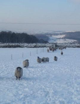 Flock of Sheep in Wintery Snow Field