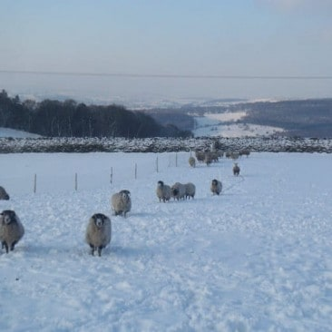 Flock of Sheep in Wintery Snow Field