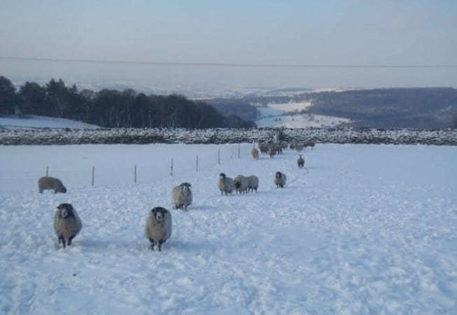 Snow covered field with a flock of sheep near Eldwick