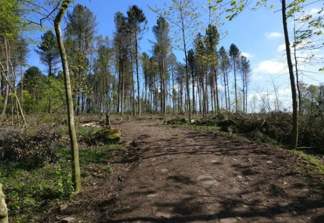 Deforestation of Bettys Wood in St Ives Estate to prevent the further spread of a disease called phytophthora ramorum