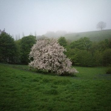 Blossomed Cherry Tree in East Morton