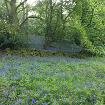 Blue Bells in East Morton