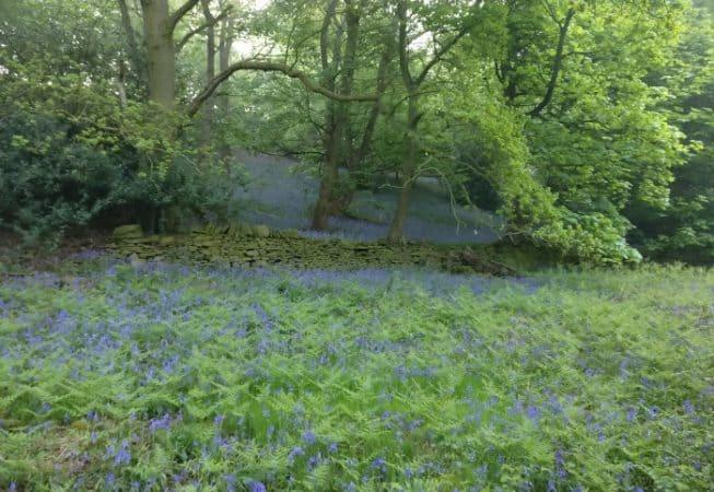 Beautiful scenery of blue bells covering this undergrowth in East Morton